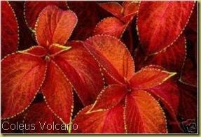 Coleus Volcano