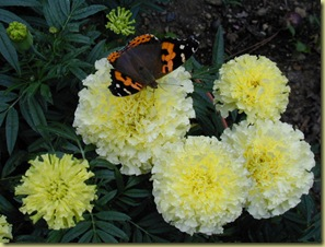 tagetes French Vanilla