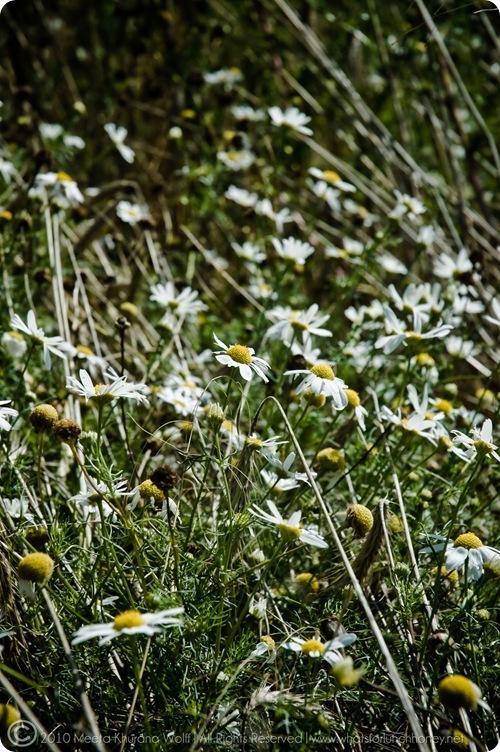 Daisy2010_0007-CR