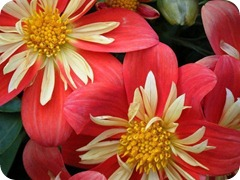 Colorful-Flower-pictures-9