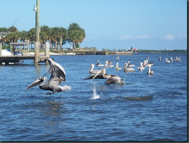 pelicans near the fish cleaning station