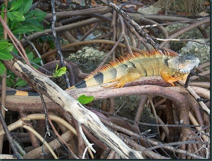 12.22.08 Iguana hunting 009