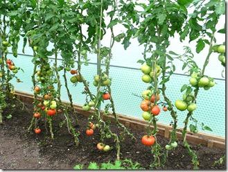 Хэнбери Холл, томаты в теплице