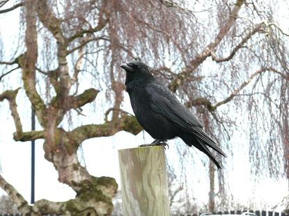 Свободная ворона