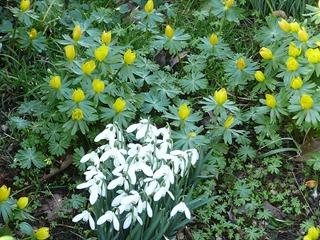 Подснежники, Castle Bromwich Hall Gardens