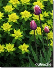 EuphorbiaPolychroma
