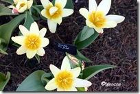 Tulipa The First