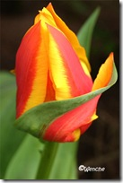 Tulipa Yellow Dawn