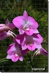 Dendrobium-Nopporn-Pink