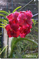 Vanda-Ratirat-x-Vascostylis