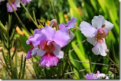 Vanda-Miss-Agnes-Joaquim3