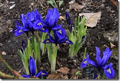 Iris reticulata &#39;Harmony&#39;