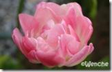 TulipaAngelique7