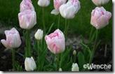 TulipaAngelique5