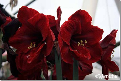 Hippeastrum-Benfica