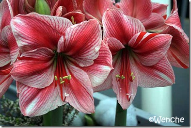 Hippeastrum-Gervase