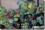 F.-procumbens-variegata
