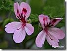 QuercifoliumVariegatum
