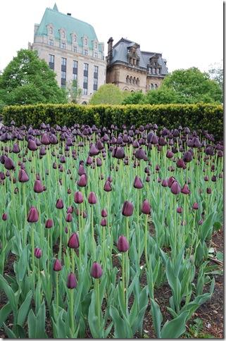 tulips Ottawa