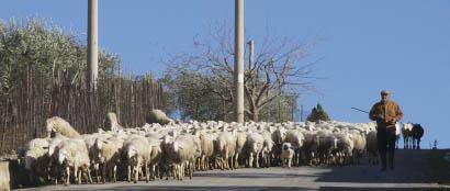 Schafherde auf Sizilien