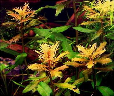Proserpinaca palustrisra