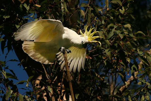 sulphur crested cockatoo photographs