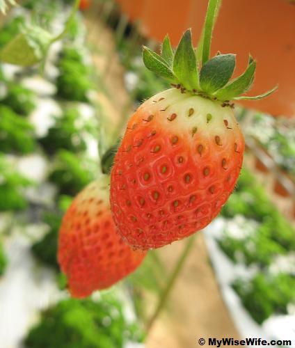 Fresh hanging red strawberry