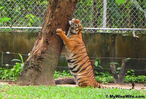 The tiger is hugging a tree?