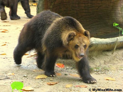 A restless Brown Bear