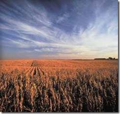Zaklampschijner rende een maïsveld in