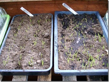 Onions seedlings