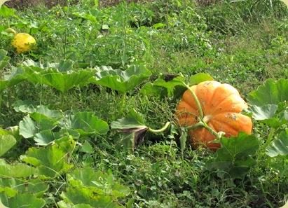 rouge vif d'Etampes pumpkin