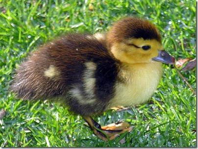 baby muscovy ducks
