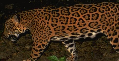 Carcaju VS Pantera Nebulosa Jaguar-at-Belize-Zoo-in-Belize