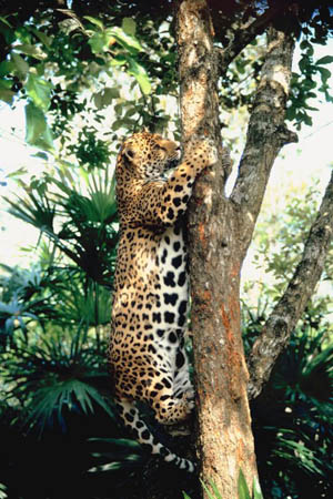 Jaguar Pantaneiro VS Leoa do Serengeti Episode%202-2c-R