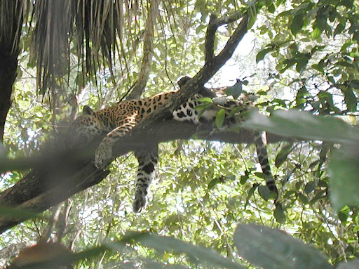Jaguar Pantaneiro VS Leoa do Serengeti 957