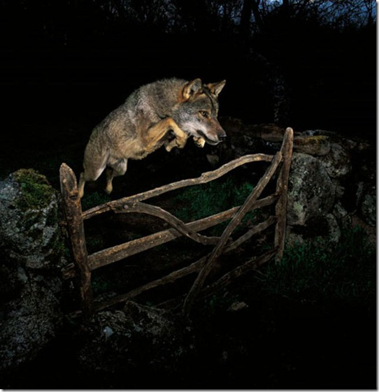 lobo-iberico-jose-luis