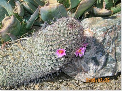 Pin Cushion blooms
