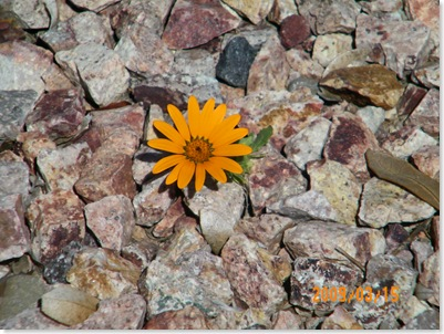 African daisy in the pebbles