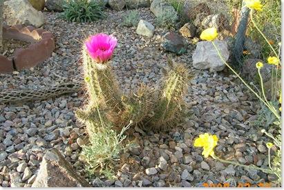pink Hedgehog cactus
