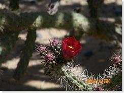 in Pat Steele's cactus garden