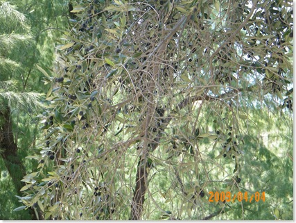 common olive tree with olives