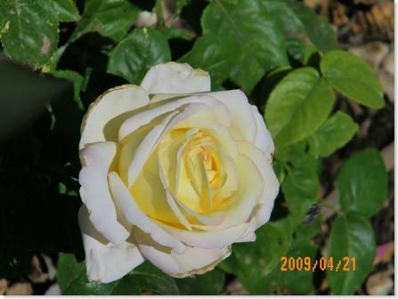 Linnea's roses
