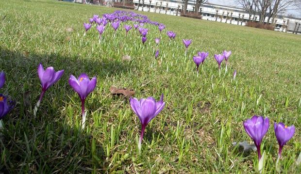 spirende forår på Rådhusplænen