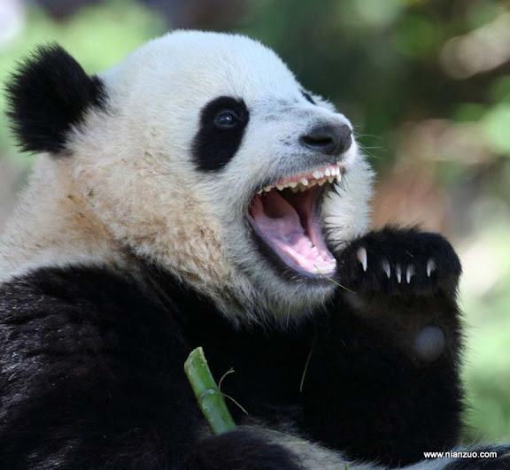血盆大口 ,熊猫