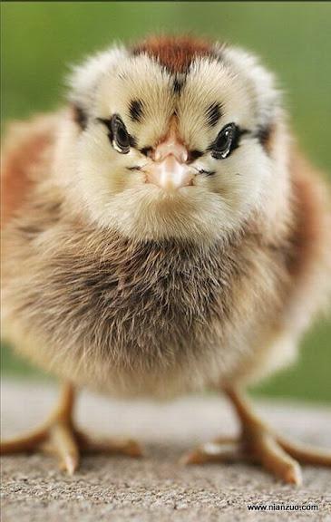 動物的快樂生活 小雞有型