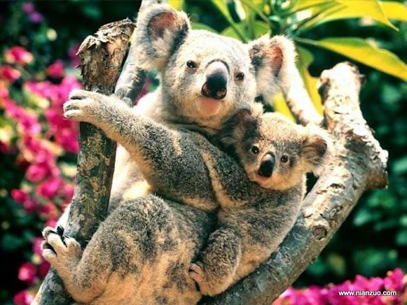 動物的快樂生活 母子好像,考拉