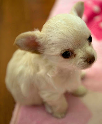 Puppies pictures cute chihuahua puppies pictures