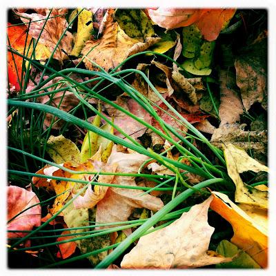 Fields of Wild Onion in Leaves