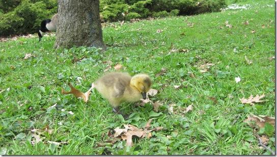 High Park Canada Geese